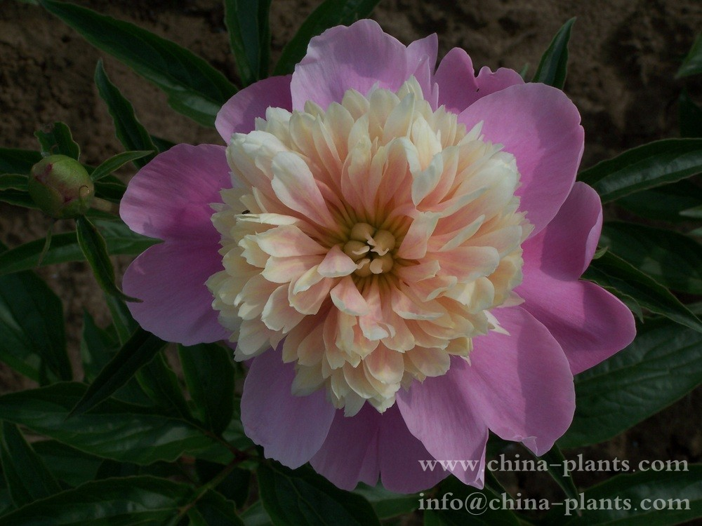 Wholesale Herbaceous Peony Seedlings Supply Herbaceous