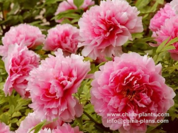 Chinese Tree Peony for Sale Online from Peony Nursery